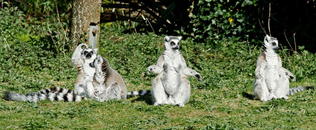 Dublin Zoo - Lemur Yoga